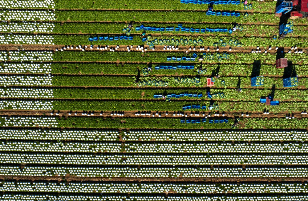 Salades_ferme_Hardy_Sannerville_mai_2020_3.jpg